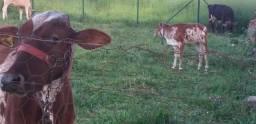 Vaca parida, novilhas e bezerros.