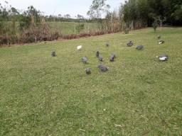 Ovos galados de galinha angola