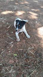 Linda Exemplar da Raça Terrier Brasileiro (O fox Paulistinha)