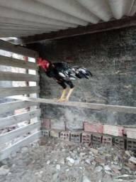 Vende se e trocar galinha