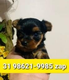 Título do anúncio: Yorkshire Terrier Mini Machos Os Melhores Filhotes