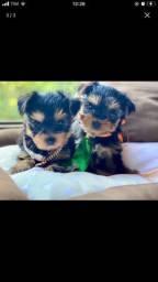 Lindos machinhos de york terrier