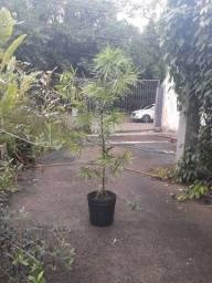 Título do anúncio: Muda podocarpo árvore 2 m árvore cerca viva