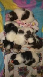 Filhotes de shitzu disponível para venda já vermifugado