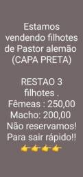 Título do anúncio: Vende-se filhotes de pastor alemao (CAPA PRETA)