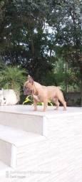 Bulldog francês blue faw para cobertura