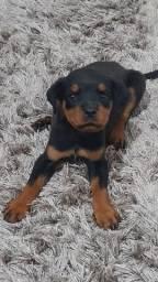 Rottweiler com 1 mês