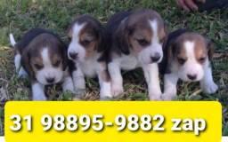 Título do anúncio: Beagle Mini Filhotes Tricolores Maravilhosos