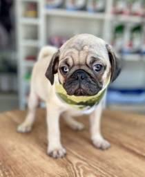 Título do anúncio: Lindo Pug machinho completamente vacinado