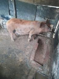 Título do anúncio: Porco e leitao