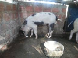 Título do anúncio: Porco piau(50 kl)