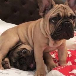 Título do anúncio: Incríveis filhotes de Bulldog Francês