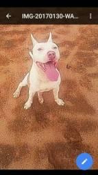 Filhotes de Pitbull red nose fêmeas 1 mês