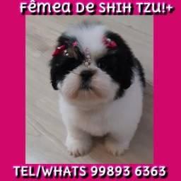 ShihTzu Fêmea Alto Padrão Disponível!!