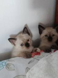 Um casal de gatinhos siamês