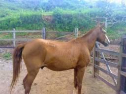 Cavalo marcha picada pura