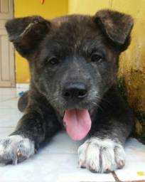 Cães Akita 4 meses