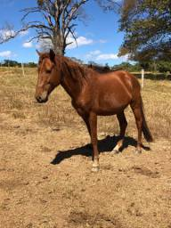 Cavalo paulista , 5 ano , marcha batida , inteiro , tratado solto com ração e silo .