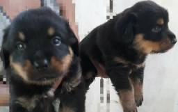 Filhotes machos de Rottweiler.