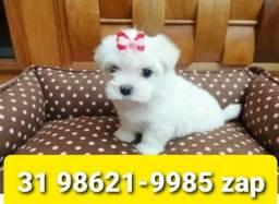 Título do anúncio: Filhotes Cães Incríveis em BH Maltês Shihtzu Beagle Yorkshire Poodle Lhasa