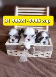 Título do anúncio: Filhotes Cães Premium BH Lhasa Beagle Yorkshire Maltês Shihtzu Basset