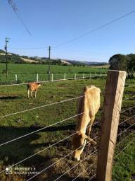 Título do anúncio: Vaca Jersey