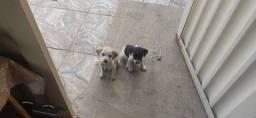 Doação de cadelinhas