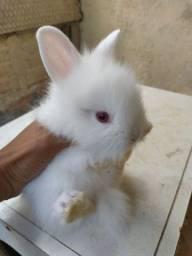 Título do anúncio: Filhotes coelho Raça mini lion(Promoção )