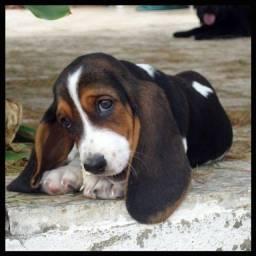 Título do anúncio: basset hound