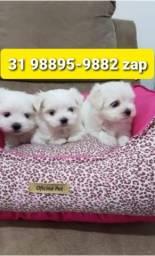 Título do anúncio: Canil Filhotes Cães Selecionados BH Maltês Yorkshire Shihtzu Lhasa Poodle Basset Beagle