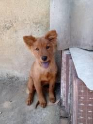 Cachorro Chow-Chow, 3 meses de vida