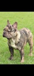 Bulldog francês Platinum merle cobertura