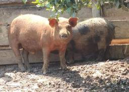 Título do anúncio: Porco Cachaça Pra engorda