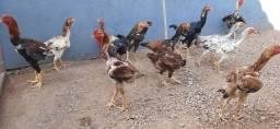 Título do anúncio: Vendo-se galinhas gigantes em ji-paraná