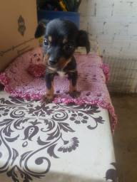 Pisncher 0 com Chihuahua