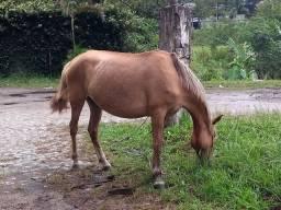 Égua baia amarilha