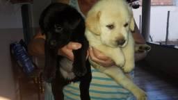 Título do anúncio: Lindos filhotes de Labrador  (Divido no cartao)
