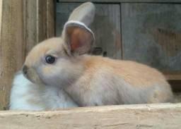 Lindos filhotes de coelho mini lop