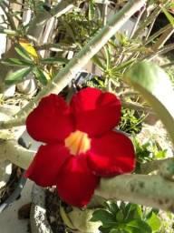 Mudas rosas do deserto 10,00