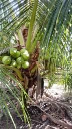 Coco verde 40 centavos