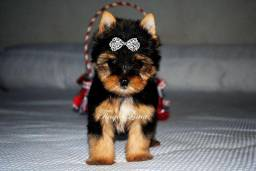 Yorkshire Terrier (York) micro 62 984472366