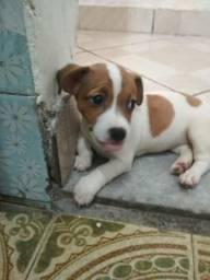 Fêmea Jack Russel Terrier!