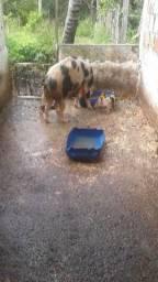 Porcas com 8 filhotes