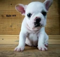 Bulldog Francês filhote - Pedigree
