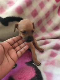 Pequenina fêmea de pinscher