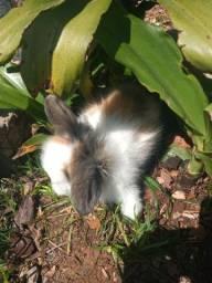 Mini coelho Disponível!!!