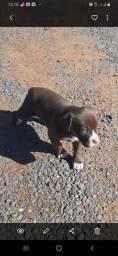 Vendo cadela de Braco Alemão