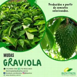 Mudas de Graviola Morada