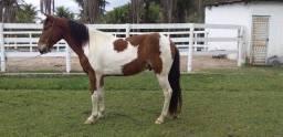 Título do anúncio: Cavalo pampa top de marcha picada