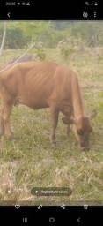 Título do anúncio: 3 vacas cabeceira